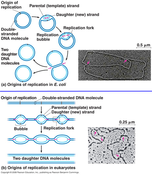 campbell dna replication